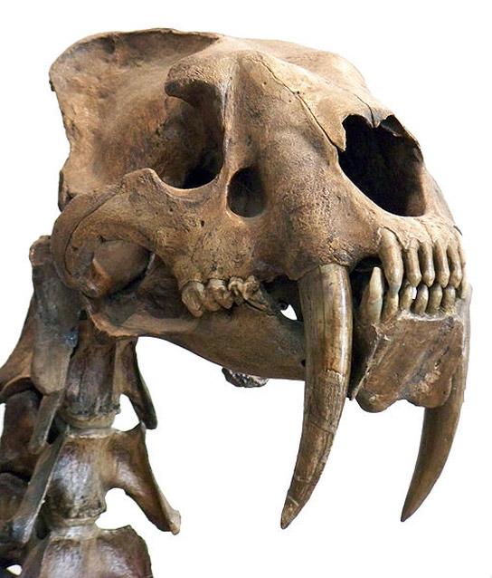 Smilodon fatalis. (wikipedia)